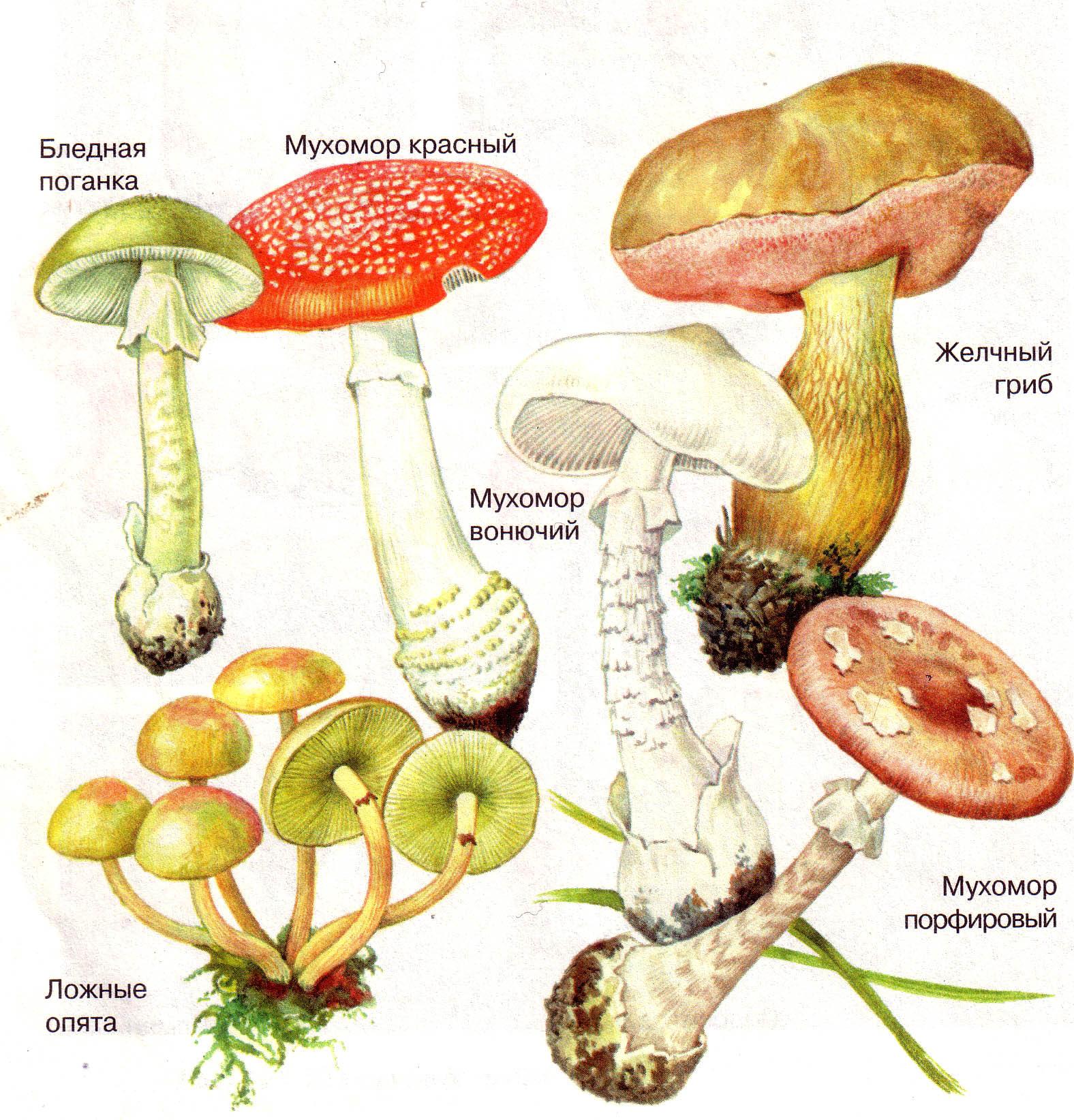 Фото несьедобных и ядовитых грибов 5
